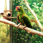 A green parrot with a red forehead and shoulder