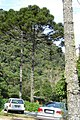Araucaria angustifolia-Brazil.jpg