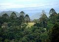 Araucaria bidwillii trees.jpg