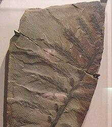 Callixylon fossil dating