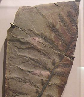 <i>Archaeopteris</i> genus of plants (fossil)