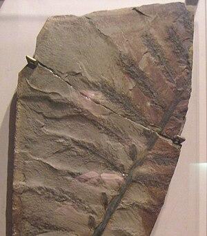 Archaeopteris - Archaeopteris hibernica