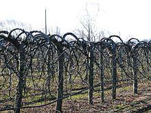 Taille des arbres fruitiers wikip dia - Comment tailler un pommier ...