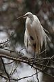 Ardea alba -Morro Bay Heron Rookery -8b.jpg