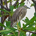 Ardeola grayii, Indian pond heron 3.jpg