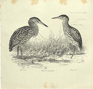 New Zealand bittern extinct species of bird