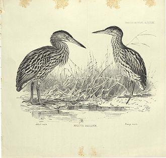 New Zealand bittern - New Zealand bittern (adult and juvenile males)
