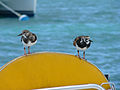 Arenaria interpres -Anegada, British Virgin Islands -perching on a boat-8.jpg