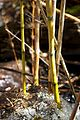 Argentina - Bariloche trekking 023 - bamboo in the stream on Cerro Tronador (6797433761).jpg