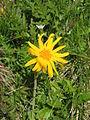 Arnica montana002.jpg