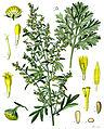 Artemisia absinthium - Köhler–s Medizinal-Pflanzen-164 clean.jpg