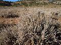 Artemisia tridentata wyomingensis (5041556611).jpg