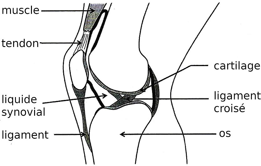 Articulation du genou.jpg