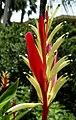 Aruba Flowers (2912048477).jpg