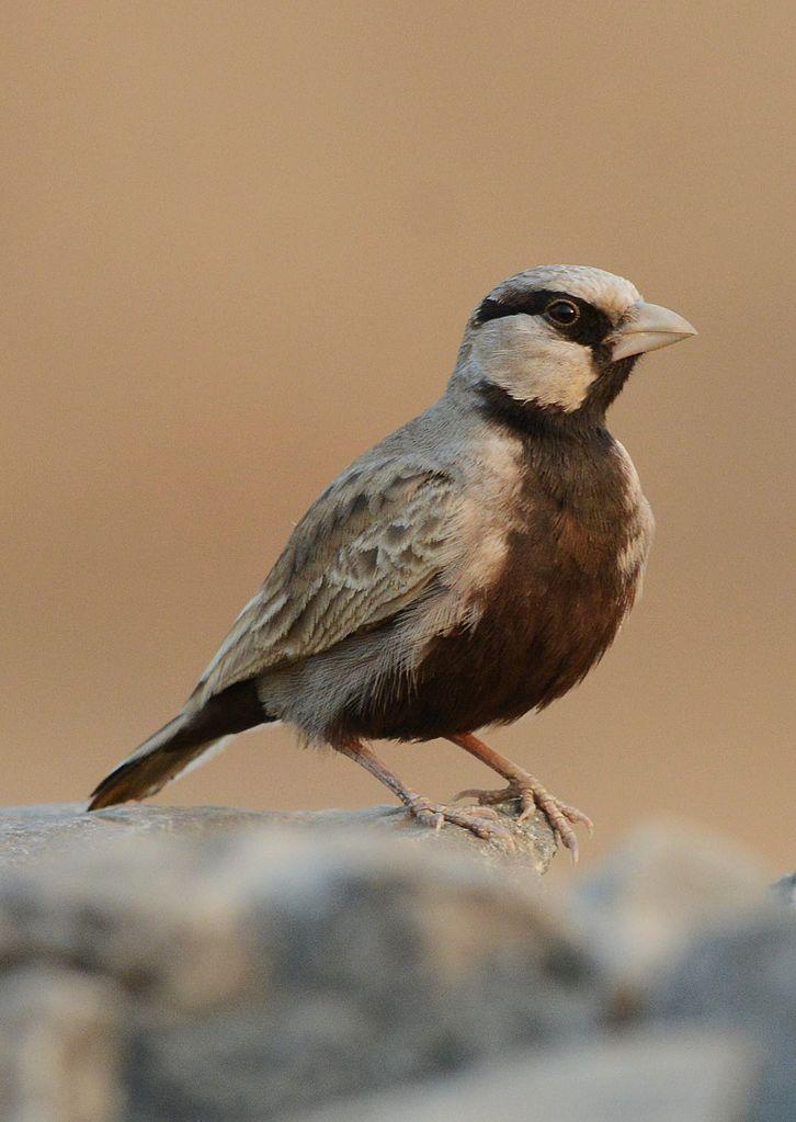 E'elyaaígíí:Ashy-crowned Sparrow-lark Eremopterix griseus
