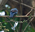Asian Fairy Bluebird (Irena puella) on Peepal (Ficus religiosa) at Jayanti, Duars, WB W Picture 436.jpg