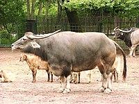 Asiatic water buffalo in zoo tierpark friedrichsfelde berlin germany.jpg