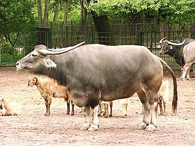 Asiatic water buffalo in zoo tierpark friedrichsfelde berlin germany.jpg
