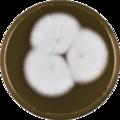 Aspergillus aureoluteus meaox.png