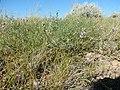 Astragalus flexuosus (27587163315).jpg