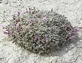 Astragalus phoenix 6.jpg