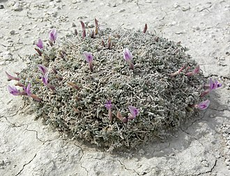 Flora of the United States - Image: Astragalus phoenix 6