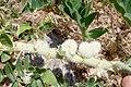 Astragalus sieversianus (Fabaceae) (33050852661).jpg