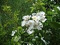 Atlas roslin pl Róża wielokwiatowa 190 7790.jpg