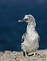 Australasian Gannet (Morus serrator) (40814642192).jpg