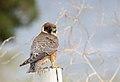 Australian Hobby (Falco longipennis) (32559893013).jpg
