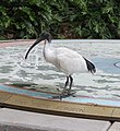 Australian White Ibis (30382874580).jpg