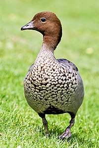 Australian wood duck - male.jpg