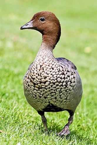 Australian wood duck - Adult male