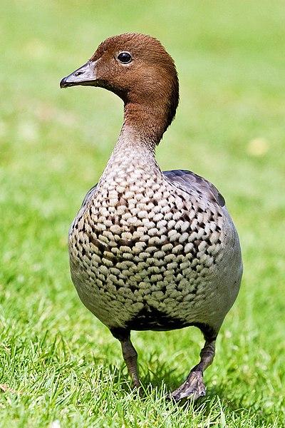 File australian wood duck male