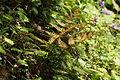 Autumn fern (Dryopteris erythrosora) (17234272221).jpg