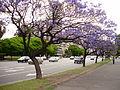 Avenida del Libertador trees.jpg