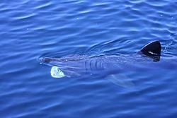 Basking Shark filter feeding