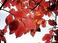 Backyard Leaves - Flickr - pinemikey.jpg