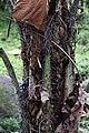 Bactris gasipaes 2zz.jpg