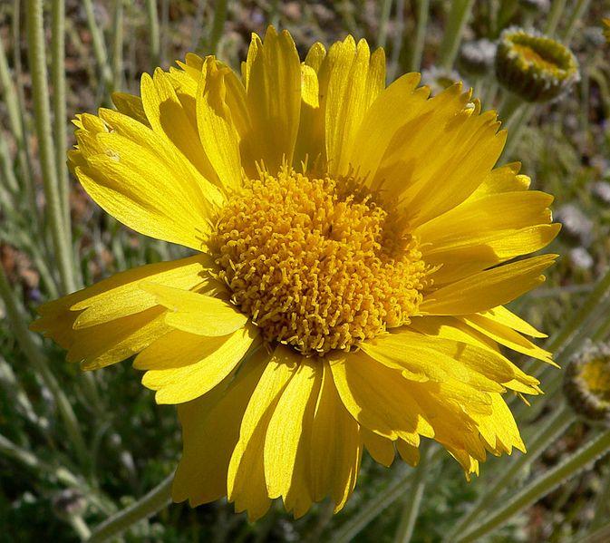 File:Baileya multiradiata flower 2.jpg