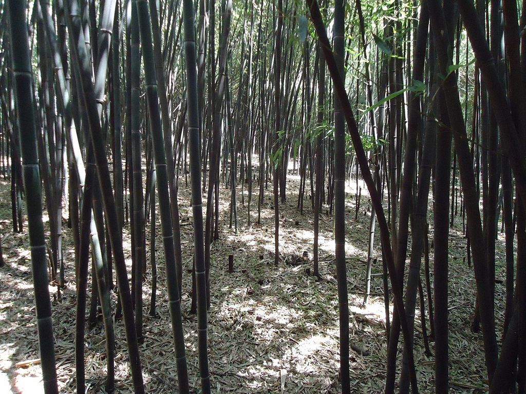 The Official Botanic Garden Of Rutgers: File:Bamboo Forest At Rutgers University Botanical Gardens