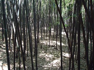 Bamboo forest at Rutgers University botanical gardens
