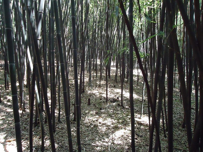 Bamboo forest at Rutgers University botanical gardens.JPG