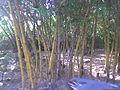 Bambous d'ailleurs.jpg
