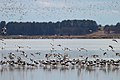 Banded Stilts and Red-necked Avocets (24200999120).jpg