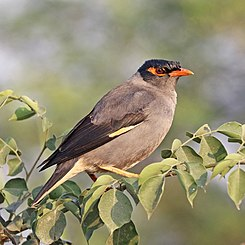 Bank myna (Acridotheres ginginianus).jpg