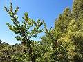 Banksia serrata (8044401124).jpg