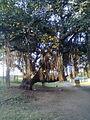Banyan tree, Chennai, India.jpg