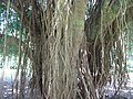 Banyan trunc 02 in Tenganan by Line1.jpg