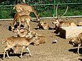 Barcelona.Zoologico.Axis.axis.jpg